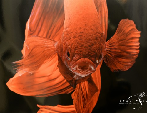 ไปแวะชมงานนิทรรศการภาพปลากัดจากช่างภาพไทยกัน